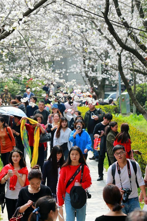 Ngôi trường đại học biến thành điểm du lịch nổi tiếng nhờ hoa anh đào