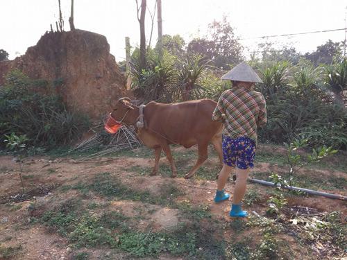 Bò vừa cày vừa ăn phá cây khiến chủ phải nghĩ nghĩ cách đeo rọ mõm.