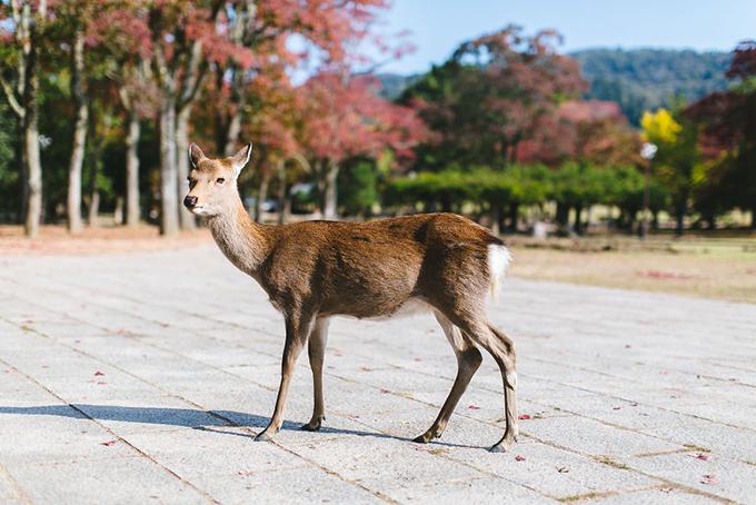 Trong khi đó, đền và công viên Nara ở Nara lại nổi tiếng nhờ những chú nai vàng ngơ ngác, đi lại thong dong trong sân. Đặc biệt, chúng rất dạn người. Sự xuất hiện của đông đảo du lích ít ảnh hưởng đến cuộc sống và sinh hoạt của chúng.