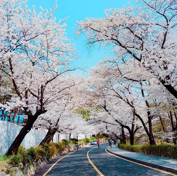 Theo chân Chi Pu ngắm con đường hoa anh đào đẹp ngất ngây ở Seoul - 8