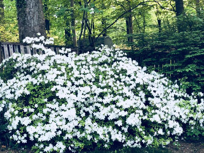 Khi bung nở, hoa che kín cả lá và thân cây đỗ quyên.