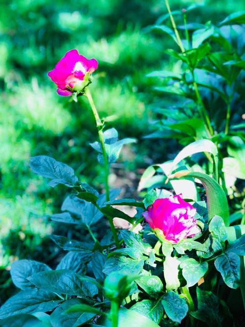 Sắc hoa đỗ quyên ngập vườn nhà Bằng Lăng ở Mỹ - 11