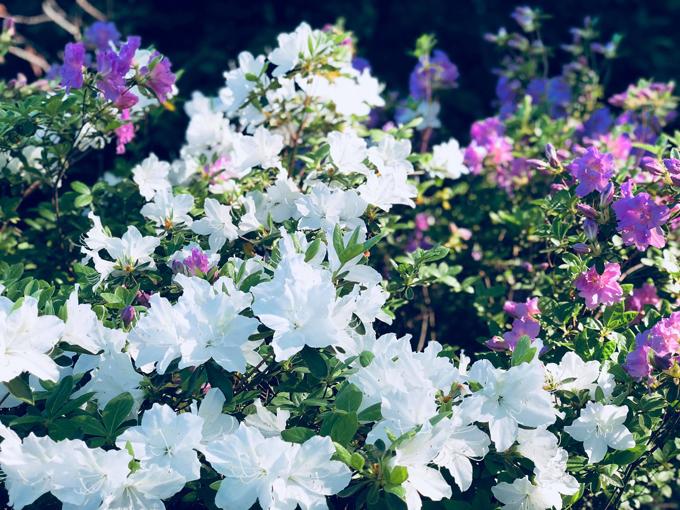 Thỉnh thoảng, vào những thời điểm hoa nở rộ, Bằng Lăng lại mời bạn bè đến nhà và làm tiệc nướng ngoài trời, vừa nói chuyện vừa ngắm hoa.