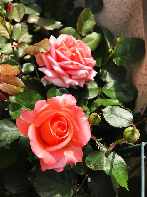 Vườn hoa hồng hâm nóng tình yêu của cặp vợ chồng Việt tại Nhật - 7