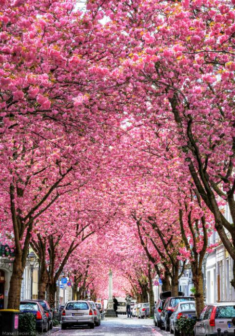 Khám phá con đường hoa Anh đào tuyệt đẹp tại Đức