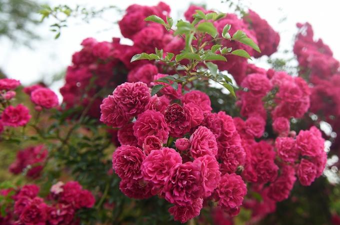 Ngắm hoa hồng nở rộ tại Sun World Fansipan vào kỳ nghỉ hè - ảnh 8