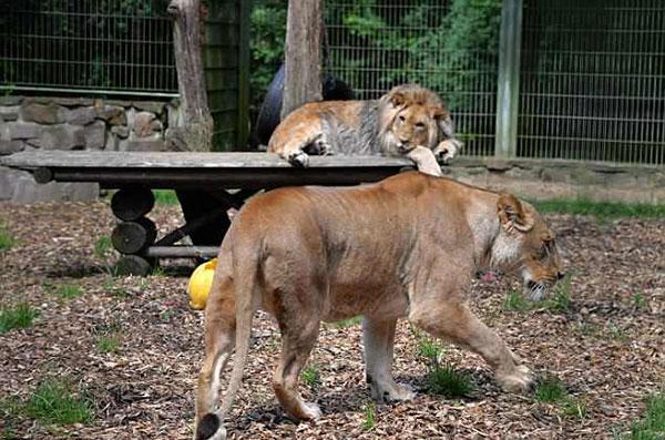 Đàn hổ báo xổng chuồng sau khi vườn thú bị ngập - 1