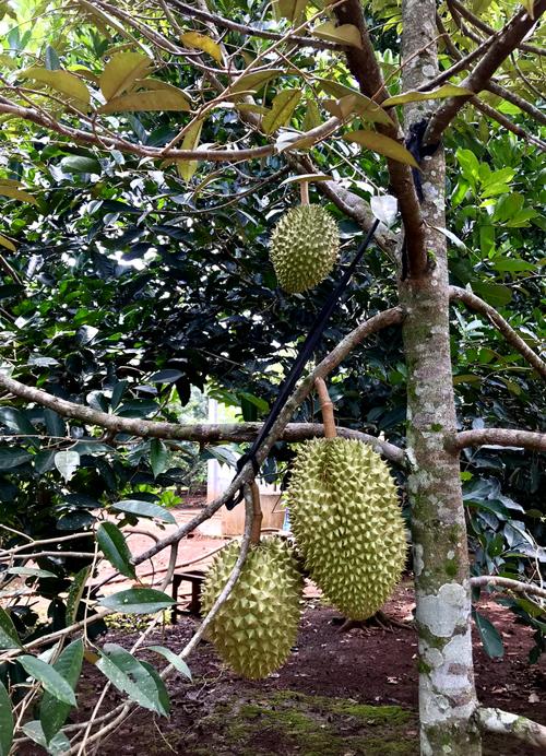 Càn quét thoả thích vườn trái cây chỉ với 50.000 đồng - 1