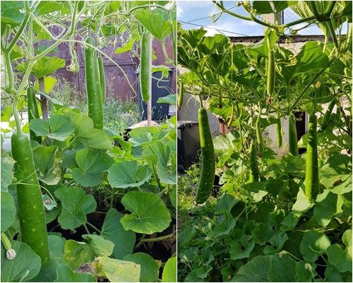 Đại gia đình 14 người Việt tại CH Czech không ăn hết rau trong khu vườn tự trồng - ảnh 6