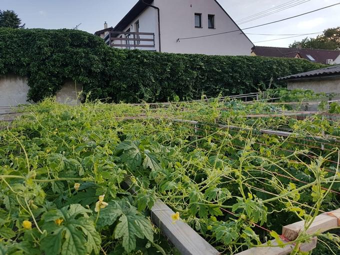 Đại gia đình 14 người Việt tại CH Czech không ăn hết rau trong khu vườn tự trồng - ảnh 1