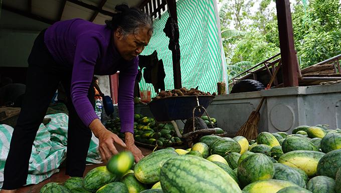 Bà Minh hái hàng tấn dưa hấu song không bán được đành đem chôn hoặc trữ làm thức ăn cho gia súc.