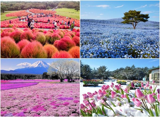 Ibaraki - thiên đường hoa ở Nhật Bản - 2