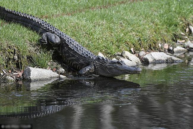 Cá sấu tấn công người lần đầu được ghi nhận tại khu dân cư Sea Pines, South Carolina, Mỹ. Ảnh minh họa: US PGA TOUR.