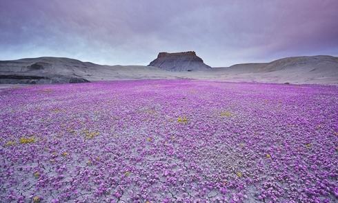 Thảm hoa tím giữa sa mạc đá đẹp như tranh vẽ