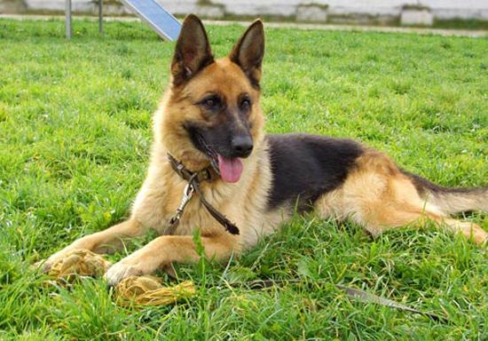Một con chó chăn cừu giống Bỉ. Ảnh: arnapress.kz