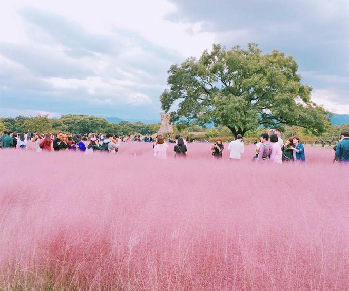 Khách du lịch đổ về Gyeongju rất đông thời điểm này, do vừa là mùa cỏ hồng muhly vừa là mùa cao điểm du lịch ở Hàn Quốc. Phần lớn người tới đây đều là những tay máy chuyên nghiệp hoặc những vị khách du lịch đam mê nhiếp ảnh. Cả một không gian được bao phủ bởi màu hồng nhạt, chuyển sắc theo ánh sáng mặt trời. Nếu trời nắng đẹp, cỏ sẽ có màu hồng nhạt bồng bềnh như mây, còn nếu trời âm u, cỏ sẽ có màu sắc đậm hơn, gần với màu hồng tím.