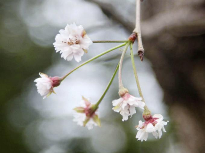 Hoa anh đào Nhật nở giữa tháng 10 khiến du khách ngỡ ngàng - 1