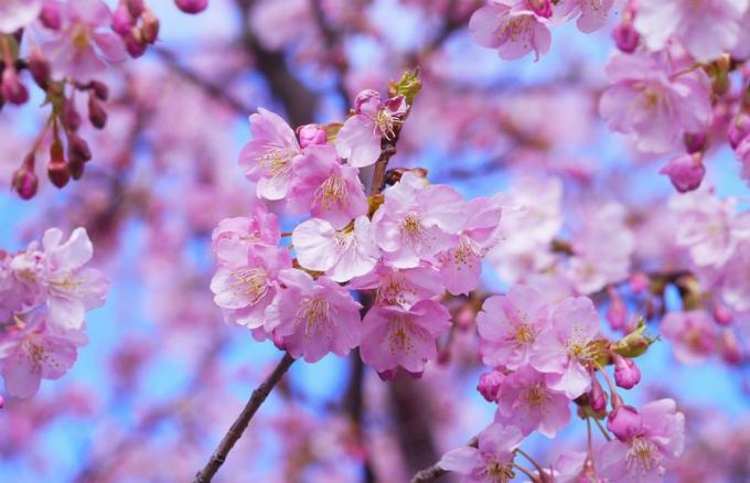 Hoa anh đào Nhật nở giữa tháng 10 khiến du khách ngỡ ngàng