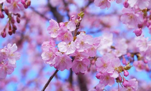 Hoa anh đào bất ngờ nở trái mùa khiến du khách ngỡ ngàng