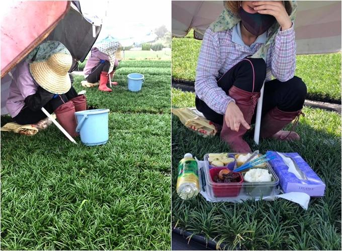 Lan ăn trưa và ngả lưng ngay trên cánh đồng.