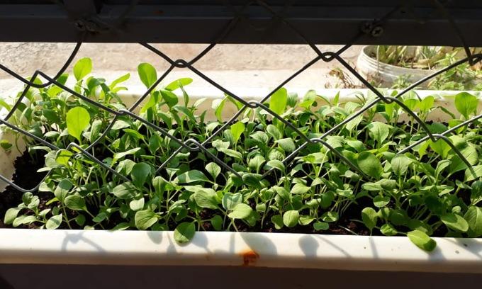 Mùa nào thức nấy, chị Thanh và anh Công trồng từng trồng đủ các loại rau như cải củ, cải chip, cải xanh, cải muối dưa, cải ngọt, cải cầu vồng, xà lách, thì lạ, rau muống, chùm ngây, mùng tơi, rau dền...