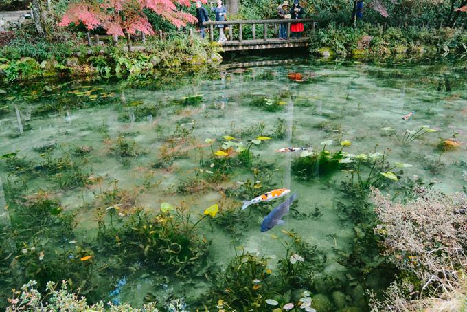 Hồ cá Koi đẹp như tranh Monet ở Nhật - 2