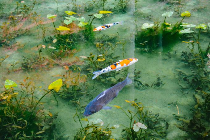Hồ cá Koi đẹp như tranh Monet ở Nhật - 3