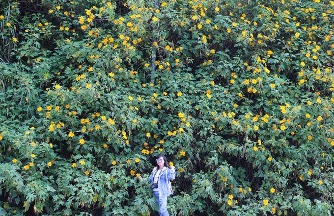 Hoa dã quỳ đang phủ vàng khắp các cung đường Đà Lạt