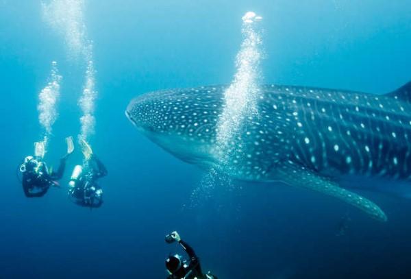 Lặn biển ngắmcá mập voi.