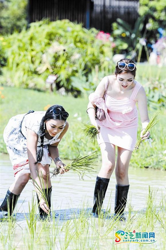 Để tránh bùn đất, các người đẹp đi ủng lội ruộng. Cấy lúa nước là công việc lạ lẫm đôi với nhiều cô gái ở châu Âu và châu Mỹ.