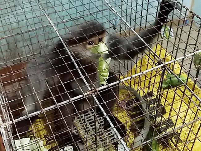 Cá thể voọc đang được chăm sóc tại Hạt Kiểm lâm huyện Bình Sơn. Ảnh: NVCC.