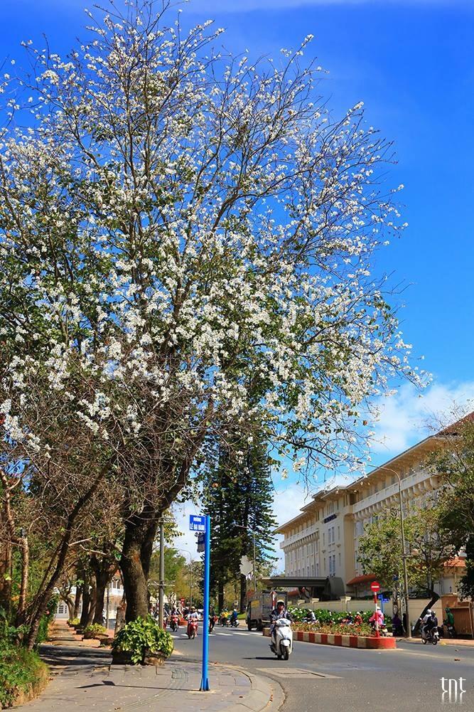 Ngắm cảnh sắc Đà Lạt vào mùa hoa ban trắng với tour một ngày - ảnh 1
