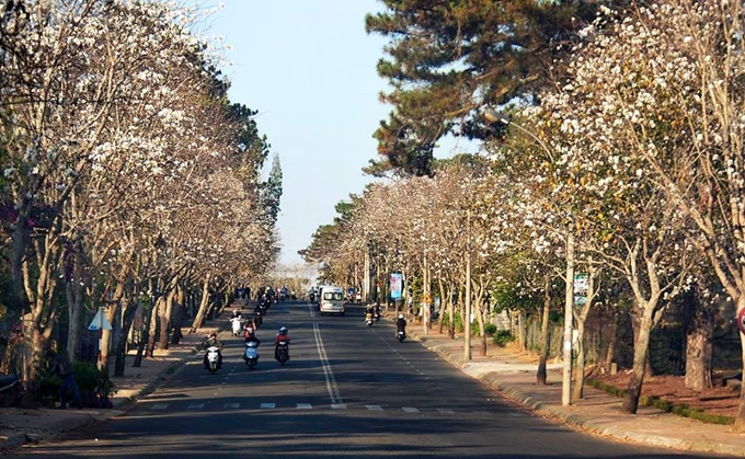 Hai con đường ngắm hoa ban trắng ở Đà Lạt dịp Tết Dương lịch - ảnh 1