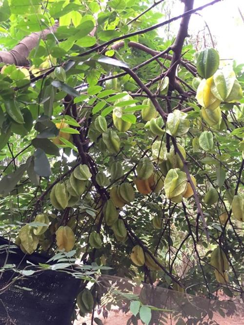 Cây khế lúc được nữ nghệ sĩ mang về trồng tán chỉ rộng bằng vòng tay, nay đã sum suê cành lá. Trái sai trĩu không kịp hái, rụng xuống gốc làm thức ăn cho bầy gà.