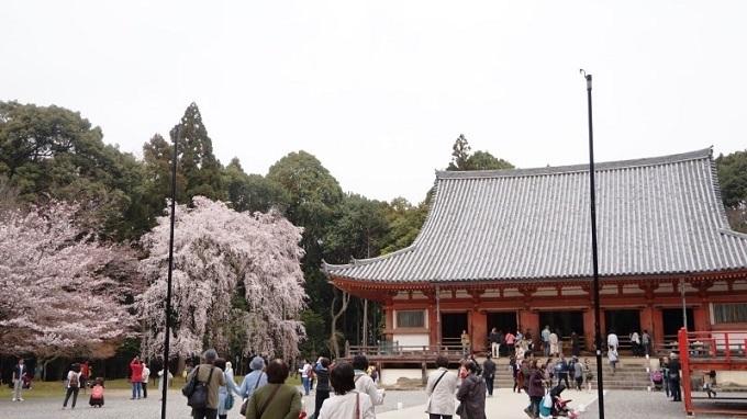 Là một trong những di sản văn hoá thế giới, chùa Daigoji (Kyoto) sở hữu nhiều di sản văn hóa, bảo vật quốc gia, tranh ảnh, tượng Phật quý giá...Khắp chùa cóhơn 800 cây hoa anh đào cùng đua nhau khoe sắc vào mỗi dịp xuân sang,với nhiều chủng loại phong phú như Somei Yoshino, Shidare zakura, Yae zakura...Từ xưa nơi đây đã là một địa điểm ngắm hoa nổi tiếng. Nếu đang tìm tour tham quan điểm đến độc đáo này, bạn có thể cân nhắctour du lịch Nhật BảnTokyo - Núi Phú Sỹ - Nagoya - Kyoto - Osaka 6 ngày. Ngoài Kyoto, hành trình còn đi qua nhiều điểm đến nổi tiếngcủaxứ Phù Tang nhưngôi làng cổ Oshino Hakkai, núi Phú Sỹ, chùa Thanh Thủy...