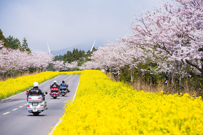 1. Jeju Island (Late March)   Festivals to catch: Jeju Cherry Blossom Festival, Seogwipo  Cherry blossom viewing spots: Just about anywhere on the island!