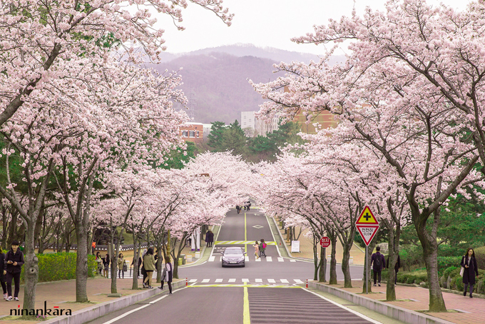2. Daegu (Late March)  Cherry blossom viewing spots: Yongyeonsa Temple Cherry Blossom Street, Duryu Park, Suseong Lake, Jijeo-dong Cherry Blossom Tunnel, Keimyung University  Seongseo Campus