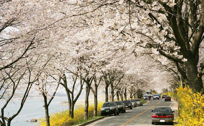 Dự báo thời điểm hoa anh đào nở ở 8 điểm ngắm hoa nổi tiếng Hàn Quốc - 2