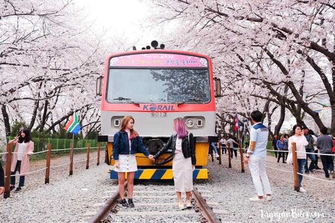 Dự báo thời điểm hoa anh đào nở ở 8 điểm ngắm hoa nổi tiếng Hàn Quốc - 3