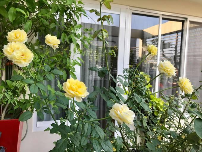 Bộ sưu tập hoa hồng trên sân thượng của CEO Sài Gòn
