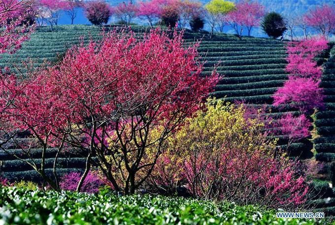 Hoa đào nở giữa đồi trà đẹp như tranh
