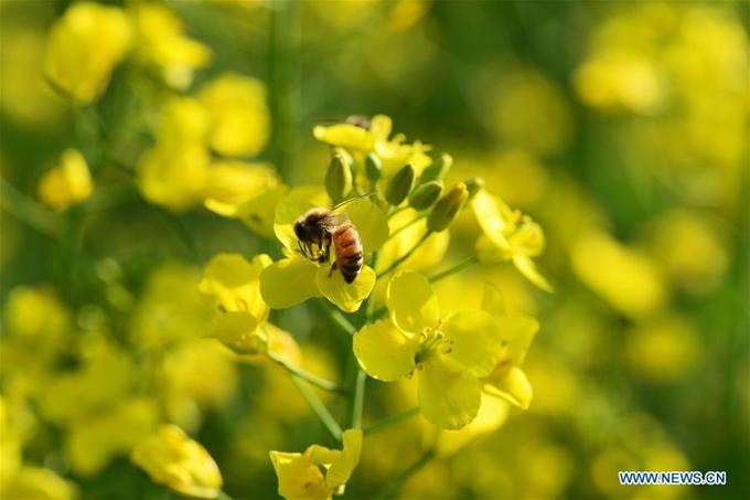 Cánh đồng hoa cải vàng khoe sắc mùa xuân ở Trung Quốc