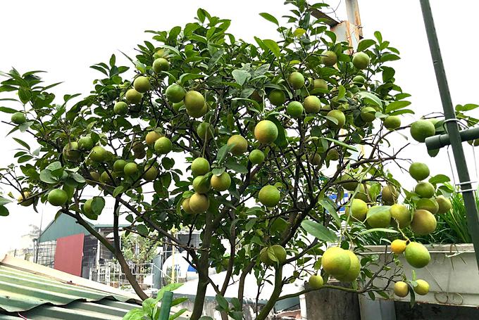 Một gốc chanh sai quả trên vườn sân thượng của chị Phương.