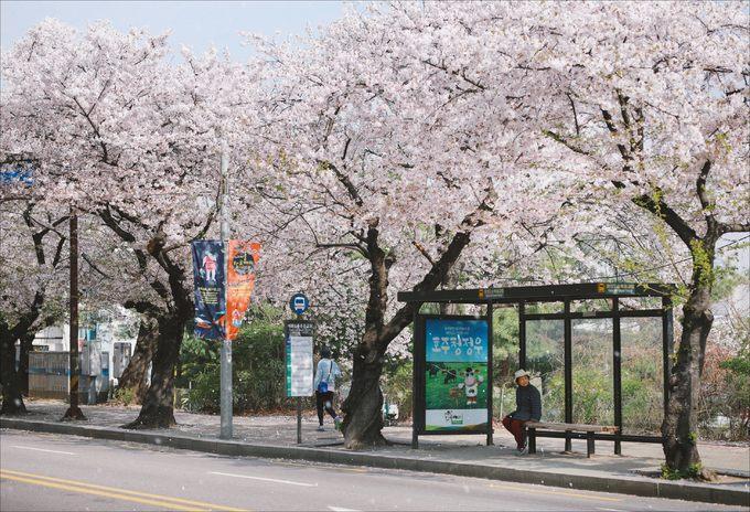 Bộ ảnh 'Đừng đến Hàn Quốc mùa hoa anh đào' của nhiếp ảnh gia Việt