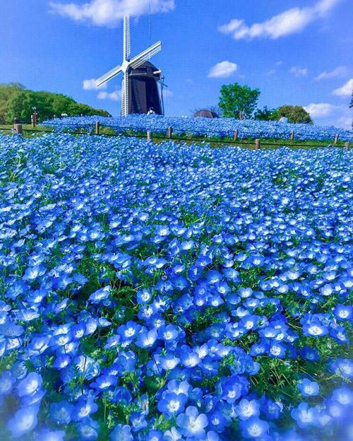 Công viên Tsurumiryokuchi nằm tại Vườn Quốc tế và Triển lãm Cây xanh 1990, nơi từng diễn ra triển lãm hoa cấp quốc tế. Sau sự kiện này, nơi đây trở thành một công viên với nhiều khu vực trồng hoa riêng biệt. Điểm nhấn của công viên là một chiếc cối xay gió mang tính biểu tượng của công viên, nằm trên sườn đồi. Phía dưới là thảm hoa tulip vàng, đỏ, trắng... nở rộ theo từng mùa, mỗi năm một màu. Ngoài hoa tulip, vườn còn trồng nhiều loại hoa khác như hoa salvia (một giống hoa oải hương), hoa cosmos cánh bướm... thay nhau nở quanh năm.