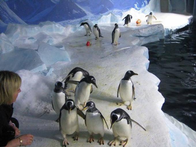 Những con chim cánh cụt ở thủy cung Dingle Oceanworld của Ireland. Ảnh: Facebook.