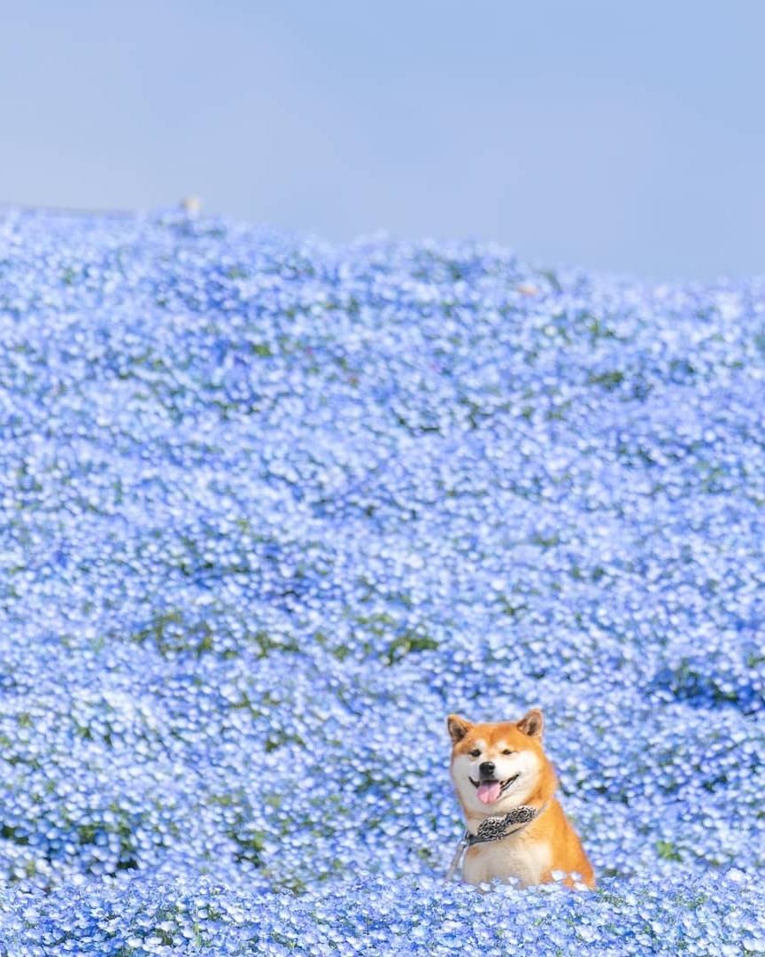 Chú chó thích du lịch, hễ được ngắm hoa là cười tít mắt