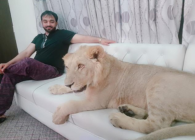 Hes just a teddy bear, really! Lion relaxes on bed as its owner reveals he gives it freedom to roam family home - 2