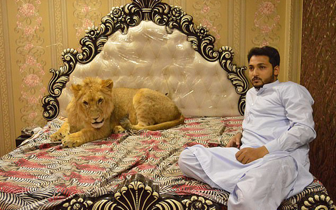 Hes just a teddy bear, really! Lion relaxes on bed as its owner reveals he gives it freedom to roam family home - 3