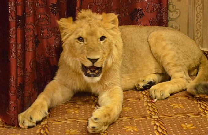 Hes just a teddy bear, really! Lion relaxes on bed as its owner reveals he gives it freedom to roam family home - 6